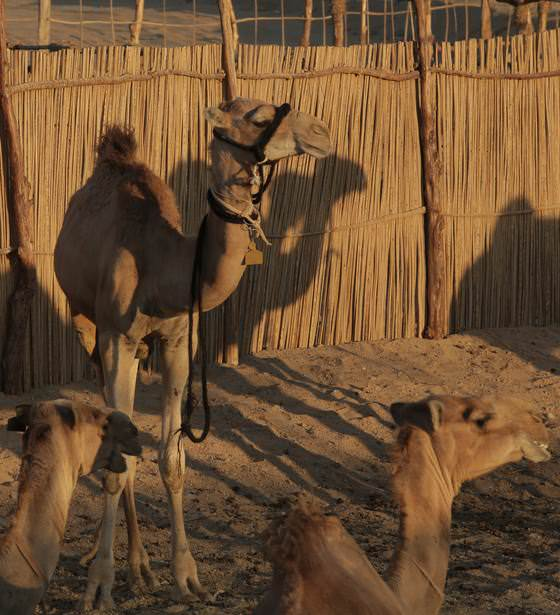 The Camel Yard, set amidst the golden desert of Marsa Alam, sheds light on the culture, habits, traditions and day-to-day living of Egypt's most indigenous Bedouin tribes, the Beega tribes ( Bashareyah) and their most regarded companions, camels. The site features a calendar of events including sports, camel shows and races, festivals and children camps. You can also spice up your own event by booking our Camel Yard occasion venue.
