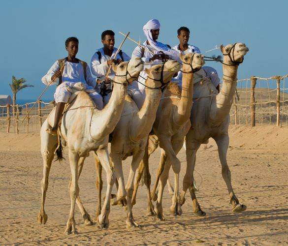 the fastest Bashari camels