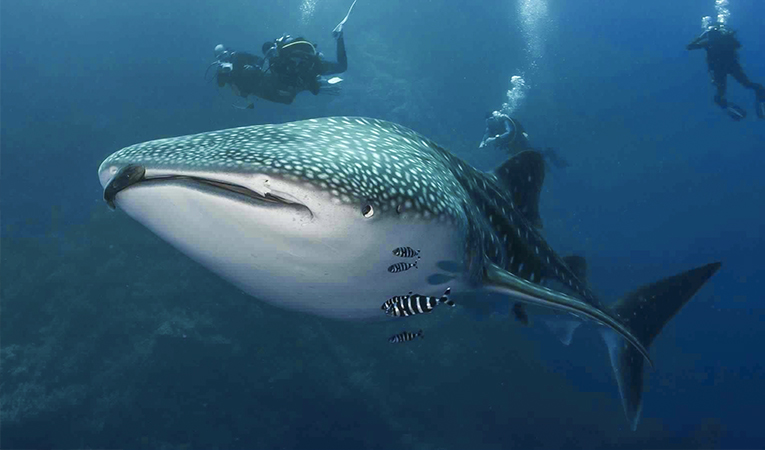 /photos/news/whale shark wide_5898e_md.jpg
